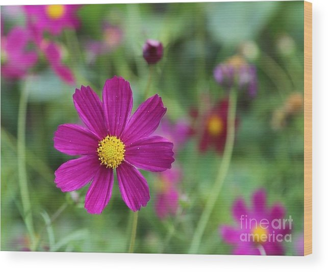 Cosmos Wood Print featuring the photograph Lost In The Garden by Carol Groenen