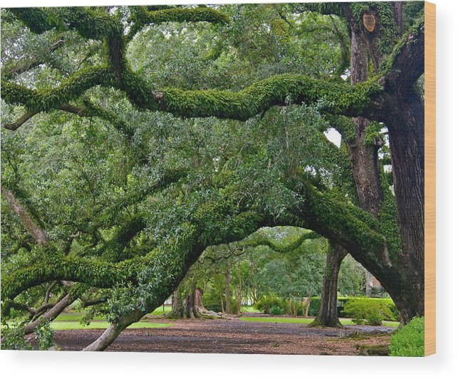 Oak Alley Wood Print featuring the photograph Magnificent Oak Alley Tree by Denise Mazzocco