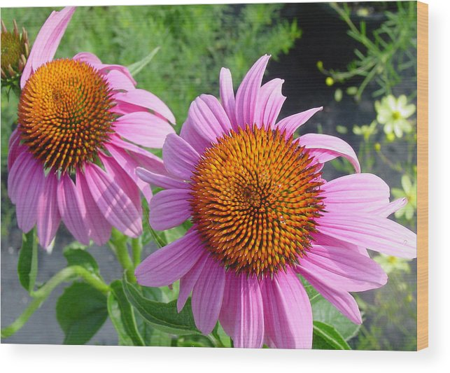 Flower Wood Print featuring the photograph Purple Coneflowers by Suzanne Gaff