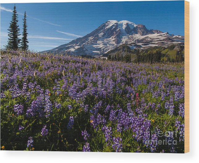 Rainier Wood Print featuring the photograph Purple Fields Forever And Ever by Mike Reid