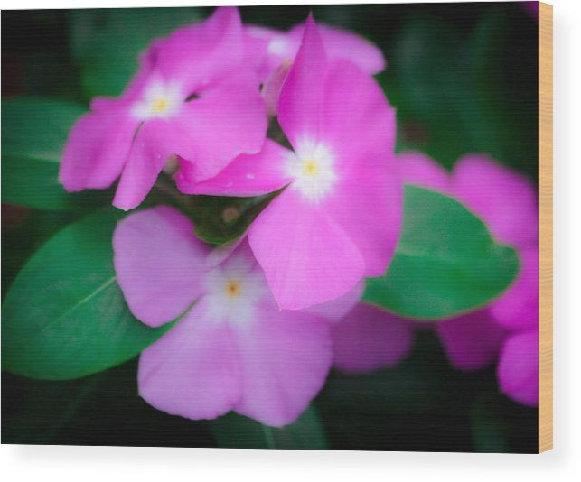 Pansy Wood Print featuring the photograph Purple by Pam Wallis