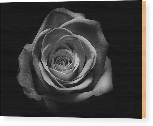 Rose Wood Print featuring the photograph Rose 5 by Larry Helms