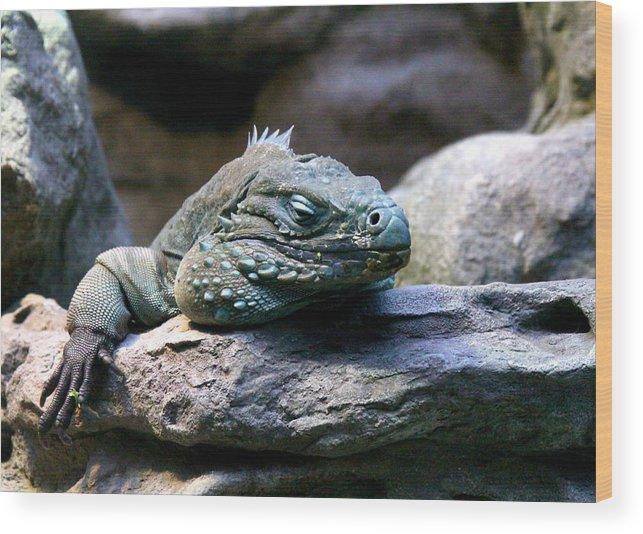 Iguana Wood Print featuring the photograph Sleepy Iguana by Greg Thiemeyer