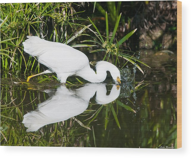 Snowy Egret Reflection Pond Bird White Splash Wading Nature Wildlife Heron Crane Water Green Egretta Thula Wood Print featuring the photograph Snowy Egret With Reflection by Avian Resources