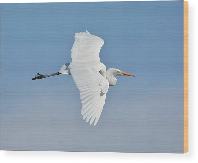 Great White Egret Wood Print featuring the photograph When Angels Fly by Fraida Gutovich