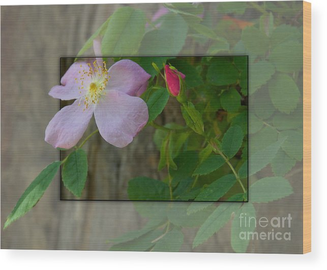 Nature Wood Print featuring the photograph Wild Rose Out Of Bounds 1 by June Hatleberg Photography