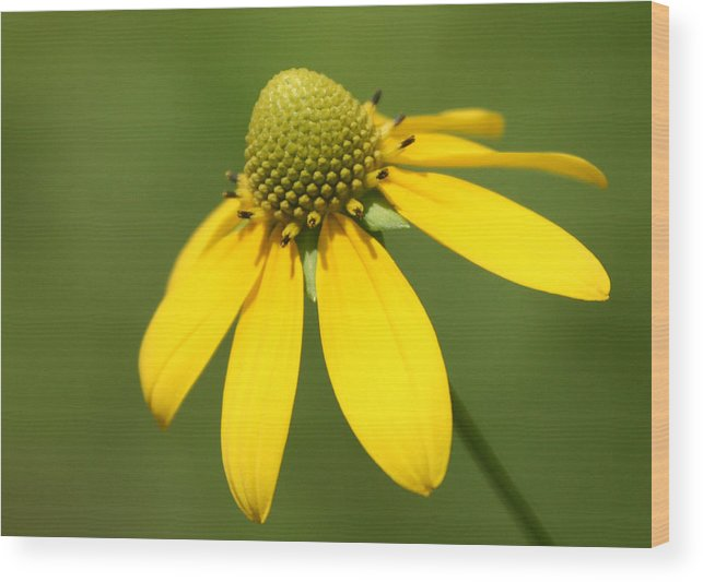 Yellow Wood Print featuring the photograph Yellow Mello by David Simons