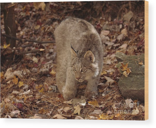 Art Card Wood Print featuring the photograph Baby Canada Lynx Stalking A Squirrel by Inspired Nature Photography Fine Art Photography