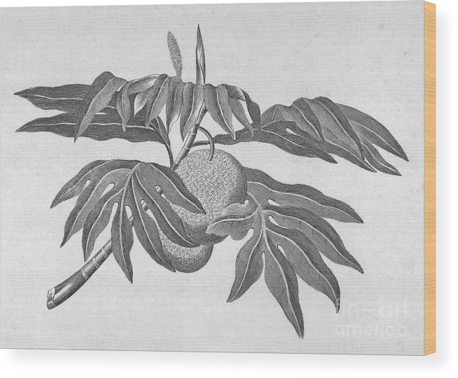 18th Century Wood Print featuring the photograph Botany: Breadfruit Tree by Granger