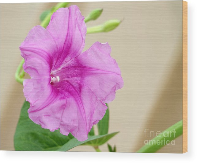 Landscape Wood Print featuring the photograph Candy Pink Morning Glory Flower by Sabrina L Ryan
