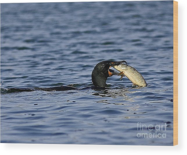 Cormorant Catches A Fish Wood Print featuring the photograph Cormorant Catches A Fish by Inspired Nature Photography Fine Art Photography