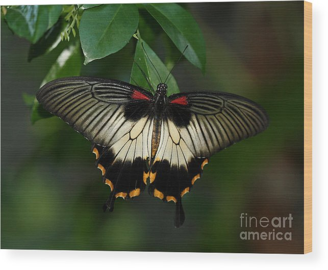 Female Wood Print featuring the photograph Female Asian Swallowtail Butterfly by Inspired Nature Photography Fine Art Photography
