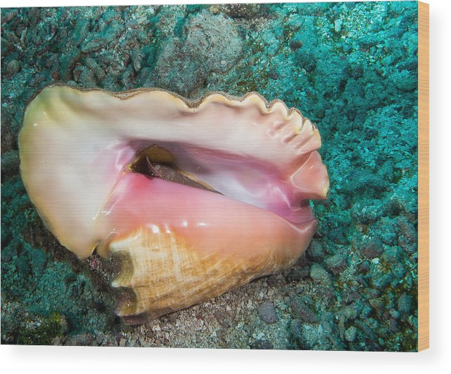 Belize Wood Print featuring the photograph Inverted Conch by Jean Noren