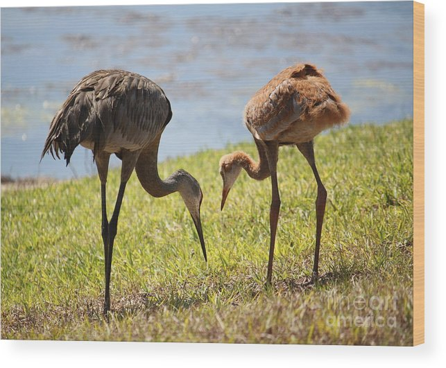Sandhill Cranes Wood Print featuring the photograph Life Lessons by Carol Groenen