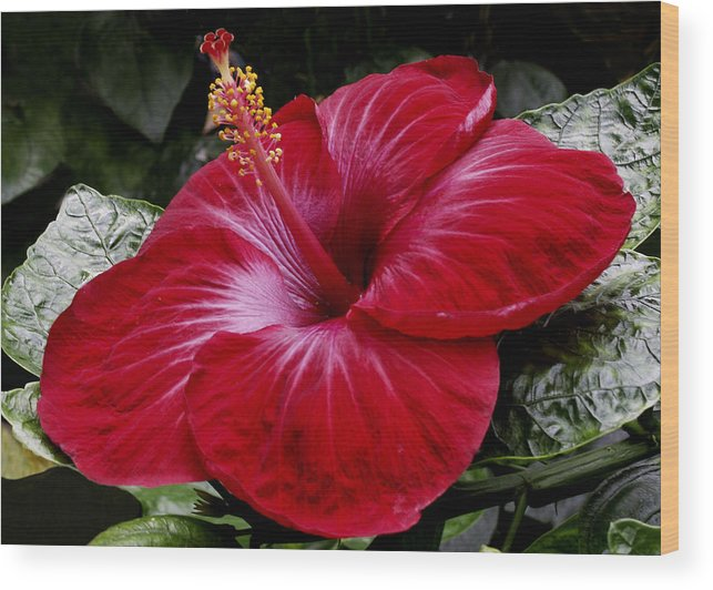 Red Wood Print featuring the photograph Red Hibiscus by Nancy Griswold