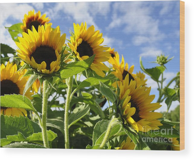 Diane Berry Wood Print featuring the photograph Sunshine Lolipops by Diane E Berry