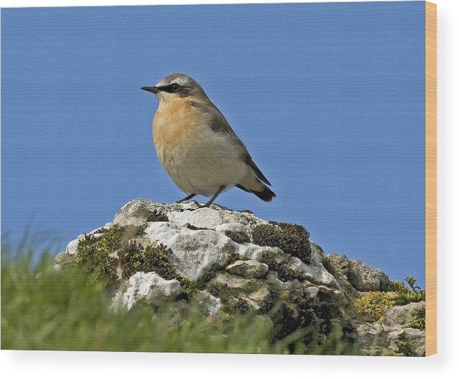 Bird Wood Print featuring the photograph Wheatear by Paul Scoullar