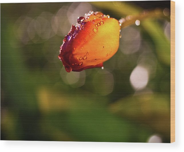 Tulip Wood Print featuring the photograph Night Tulip by Tim Fitzwater