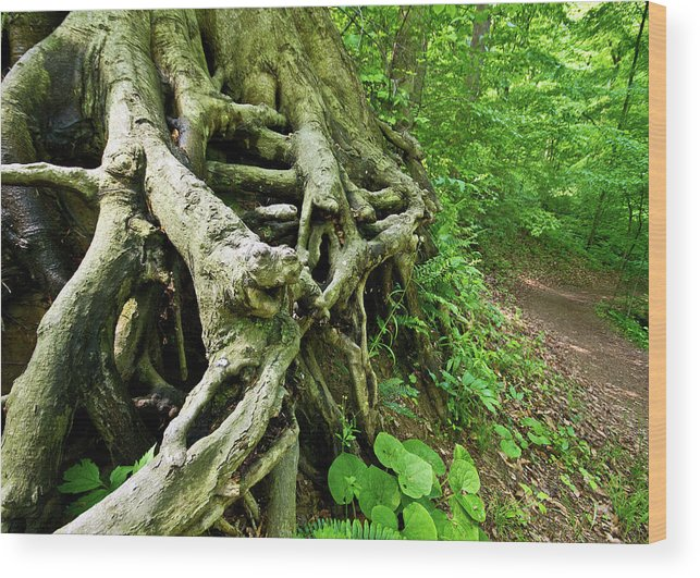 Roots Wood Print featuring the photograph The Roots by Tim Fitzwater