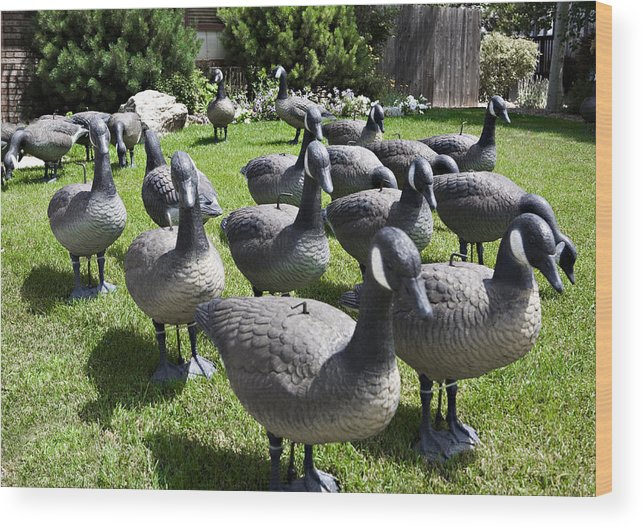 Wildlife Wood Print featuring the photograph A Flock Of Decoys by Marilyn Hunt