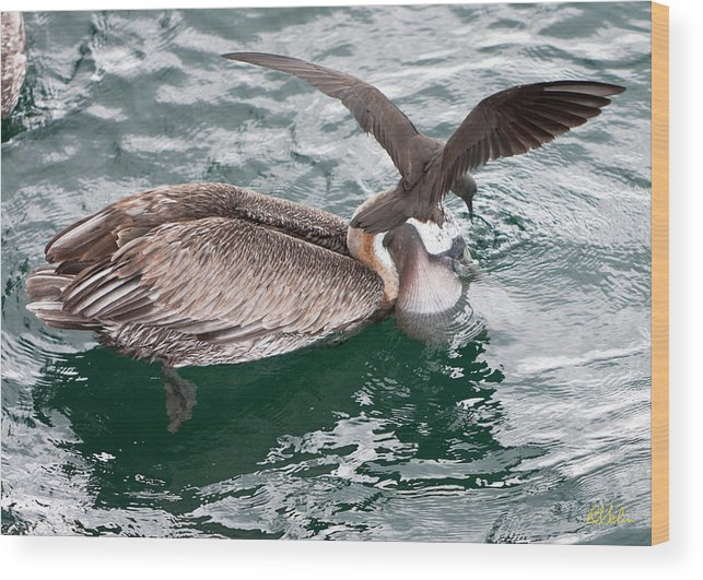 Brown Pelican Wood Print featuring the photograph Brown Pelican And His Friend Brown Noddy by Robert Selin