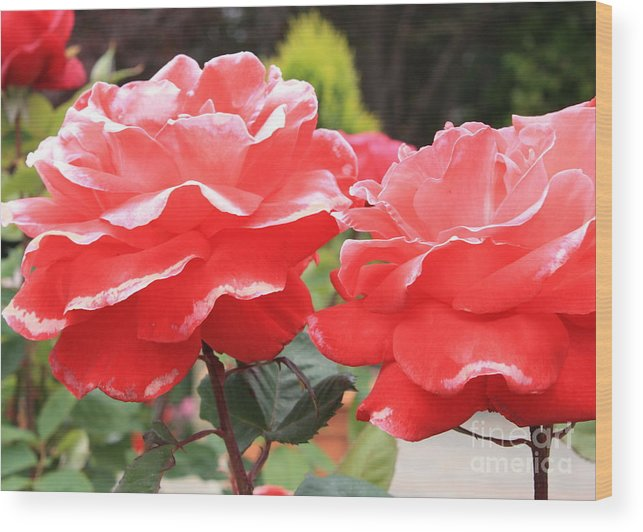 Carmel Mission Wood Print featuring the photograph Carmel Mission Roses by Carol Groenen