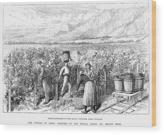 1889 Wood Print featuring the photograph Chile: Wine Harvest, 1889 by Granger