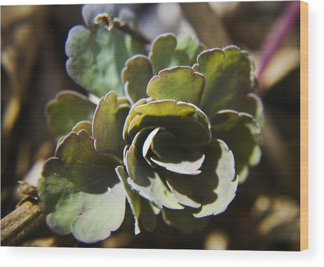 Aquilegia Wood Print featuring the photograph Columbine Foliage by Teresa Mucha