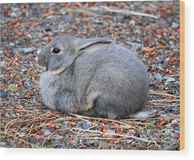 Rabbit Wood Print featuring the photograph Cuddly Campground Bunny by Carol Groenen
