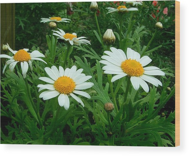 Daisy Wood Print featuring the photograph Daisey Delight by Jim Darnall