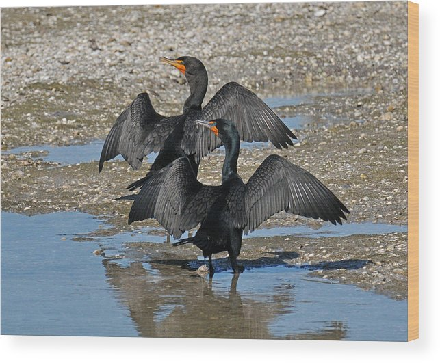 Cormorant Wood Print featuring the photograph Double Crested Cormorant Pair by Alan Lenk