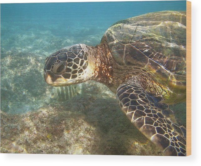 Animal Wood Print featuring the photograph Green Sea Turtle by Michael Peychich
