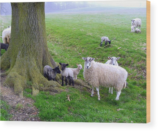 Sheep Wood Print featuring the photograph I Know My Sheep by Mindy Newman