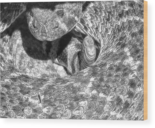 Blacknwhite Rattler Rattlesnake Snake Wood Print featuring the photograph No Pictures, Please by Michelle Farrow