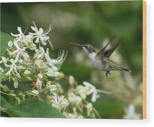 Ruby-throated Hummingbird Wood Print featuring the photograph On A Mission by MCM Photography