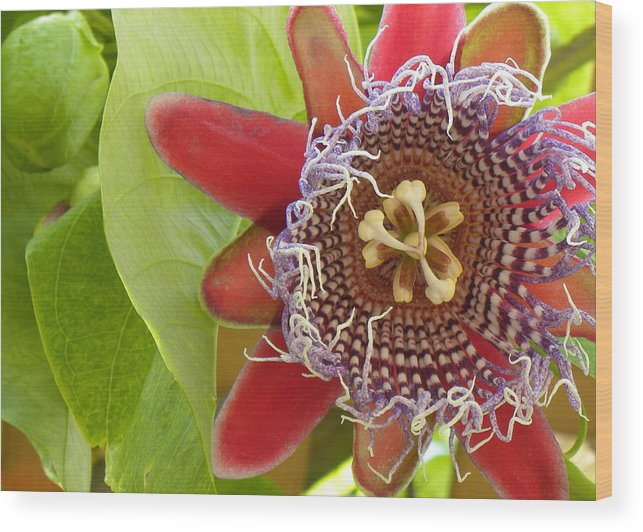 Flower Wood Print featuring the photograph Passion Flower-1 by Janet Dickinson