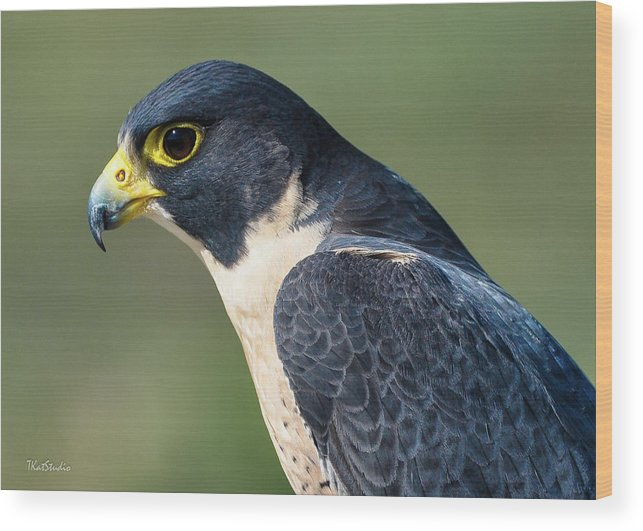 Peregrine Falcon' Wood Print featuring the photograph Peregrin Falcon by Tim Kathka
