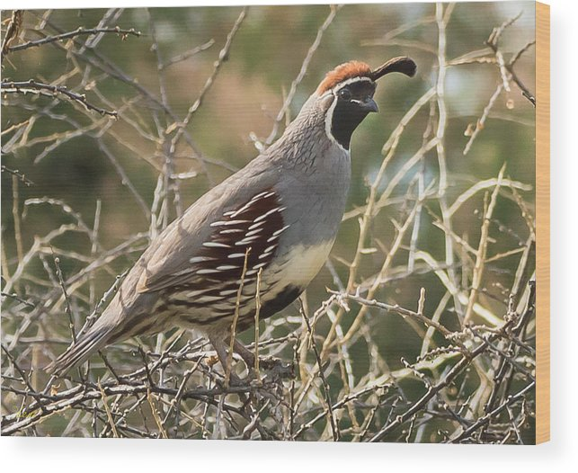 Bird Wood Print featuring the photograph Quail by George Lenz