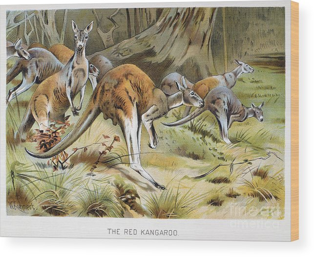 Artcom Wood Print featuring the photograph Red Kangaroo by Granger
