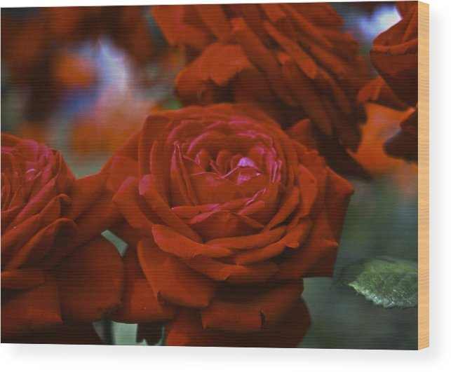 Roses Wood Print featuring the photograph Rose by Wes Shinn