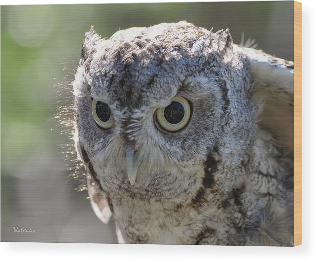 Animal Wood Print featuring the photograph Screechowl Focused On Prey by Tim Kathka