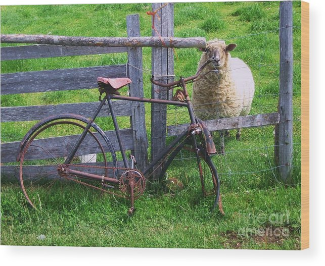 Photograph Sheep Bicycle Fence Grass Wood Print featuring the photograph Sheep And Bicycle by Seon-Jeong Kim