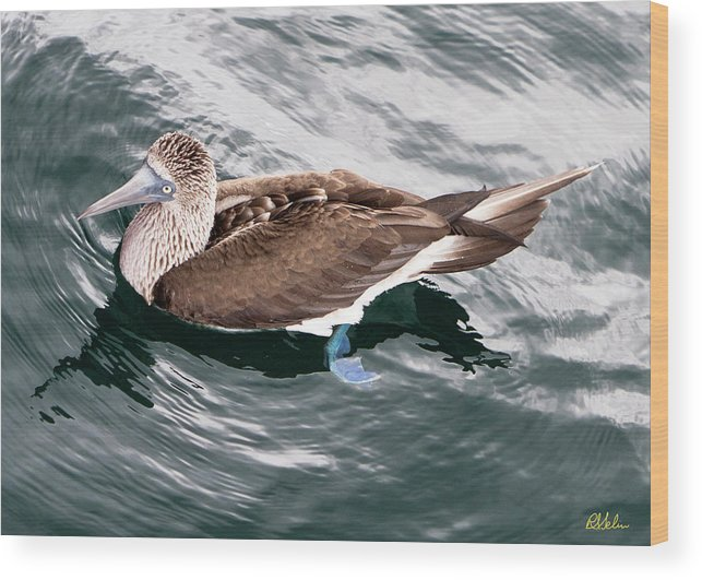 Blue-footed Booby Wood Print featuring the photograph Swimming Booby by Robert Selin