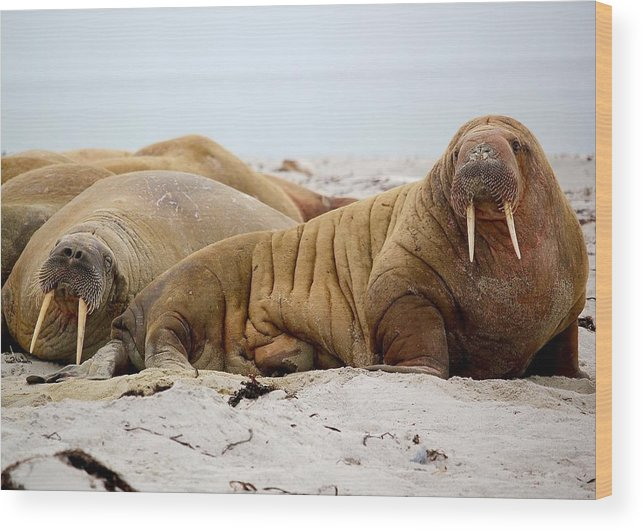 Walrus Wood Print featuring the photograph Walrus Family by Happy Home Artistry
