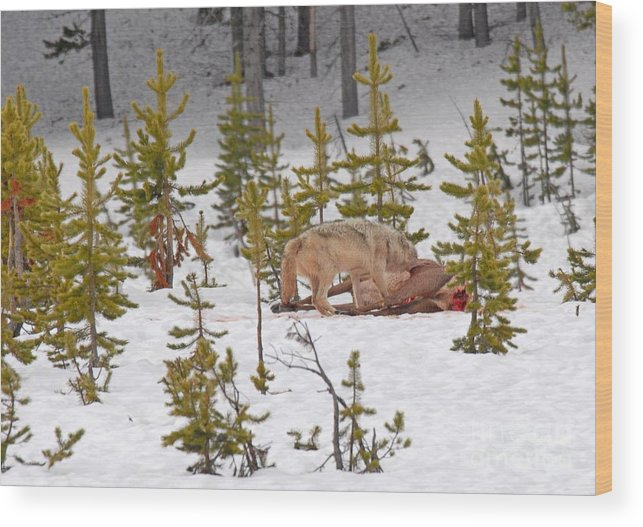 Wolf Wood Print featuring the photograph Wolf On Elk Kill by Dennis Hammer