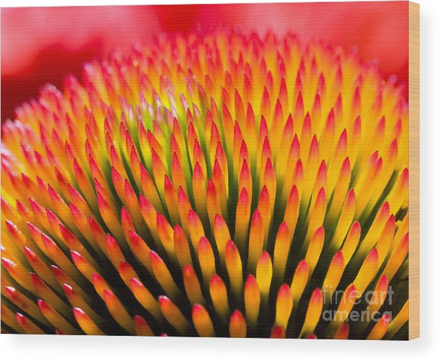 Delicate Wood Print featuring the photograph Closeup Of Flower Echinacea Purpurea by Miloussk