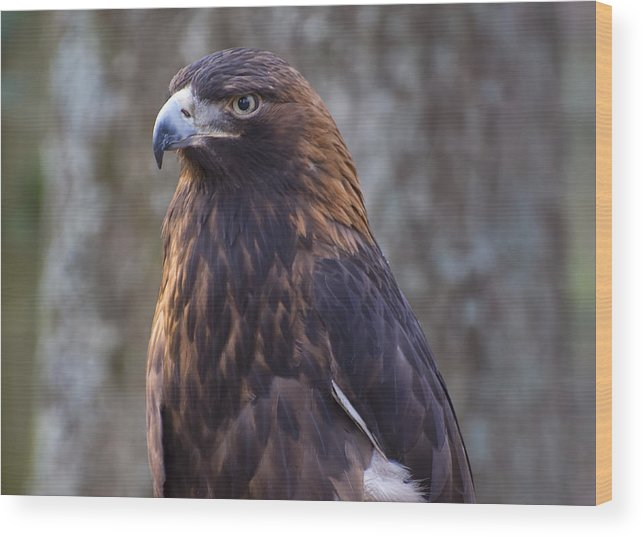 Eagle Pictures Wood Print featuring the photograph Golden Eagle 3 by Chris Flees