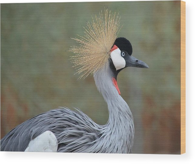 African Crowned Crane Wood Print featuring the photograph Golden Headdress 6 by Fraida Gutovich
