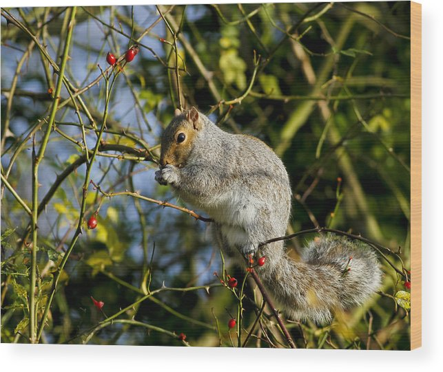 Grey Wood Print featuring the photograph Grey Squirrel by Simon Gregory