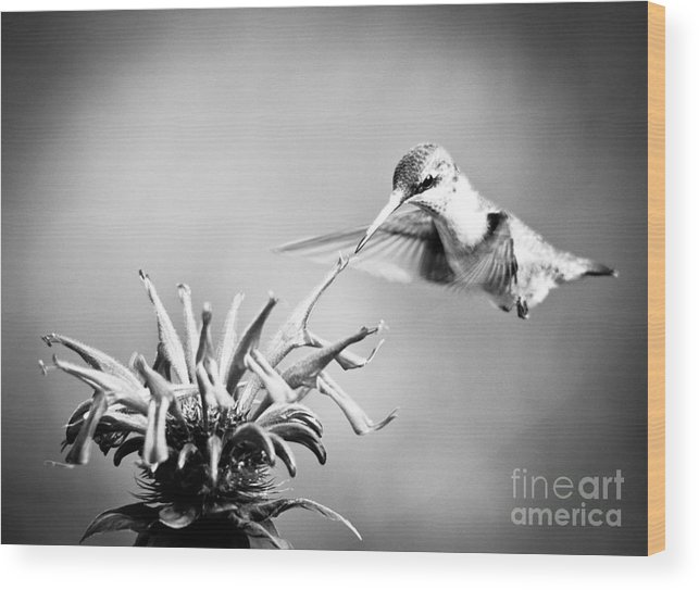 Black And White Wood Print featuring the photograph Hummingbird Black And White by Cheryl Baxter
